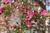 Prairiefire Crabapple Tree- 2 Year Old 4-5 Ft Tall