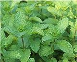 golden autumn farm -Spearmint Mint Spearmint Mint 200 Perennial Root Flower Seeds