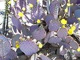 1 Cactus Purple Prickly Pear