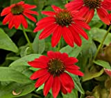 Salsa Red Coneflower Seeds Beautiful Summer Blooms Fresh