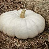 David's Garden Seeds Pumpkin White Flat Stacker 7469 (White) 25 Non-GMO, Hybrid Seeds