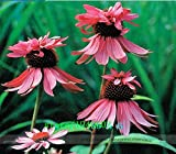 Hot Selling! Rare Echinacea Purpurea 'Double Decker' Perennial Coneflower Seeds, Professional Pack, 50 Seeds / Pack, Hardy Cottage Gardens
