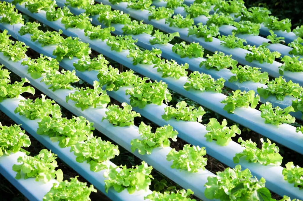 Rows of hydroponic plants