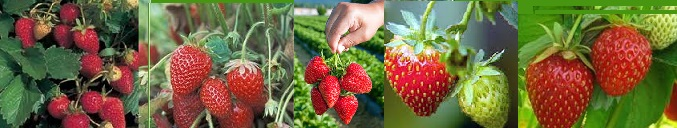 A picture of strawberries growing and a hand holding a bushel of strawberries.