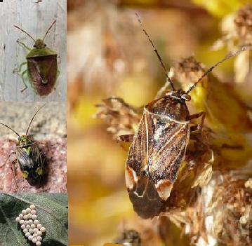 Pictures of tarnished plant bugs