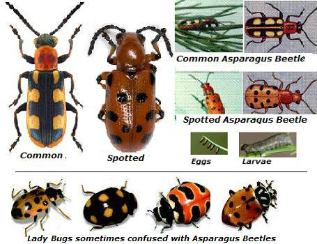 Pictures of asparagus beetles