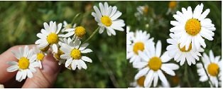 A picture of chamomile growing.