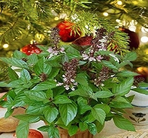 A picture of Christmas basil growing.