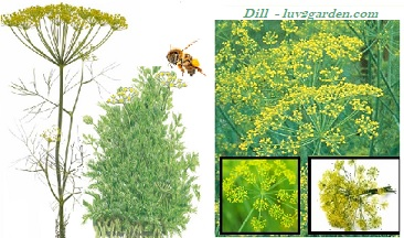 A picture of a dill plant and a bee landing on dill.