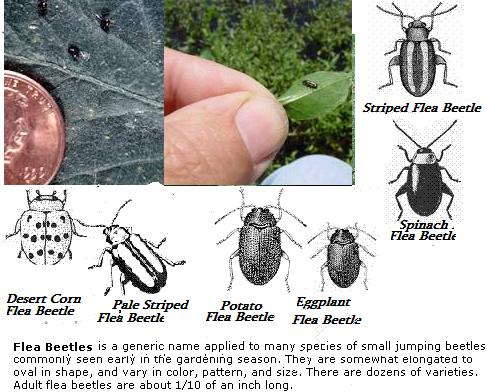 Diagrams and images of flea beetles