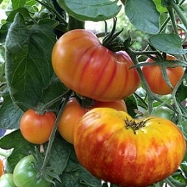 A picture of a tomatoes growing.