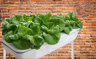 A picture of spinach being grown hydroponically.