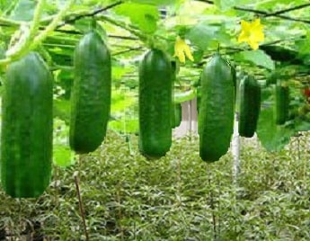 A picture of cucumbers growing