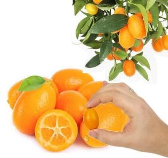 Kumquats As Bonsai Luv2garden Com