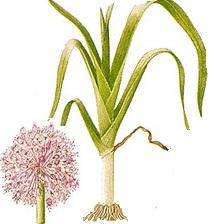 Leeks Companion Plants, Permaculture. For the purpose of ... Leek Companion Plants