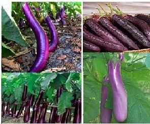 A picture of a long purple eggplant.