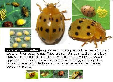 An image of the mexican bean beetle.