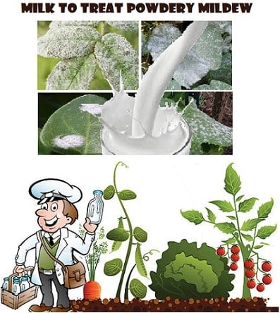 Milk to prevent and treat Powdery Mildew