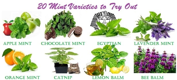 Types of Mint: 20 Mint Varieties to Grow At Home - luv2garden.com