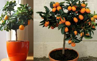 Indoor Orange Tree examples
