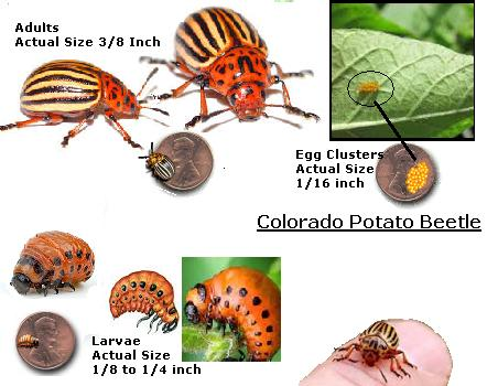 Pictures and diagrams of colorado potato beetles