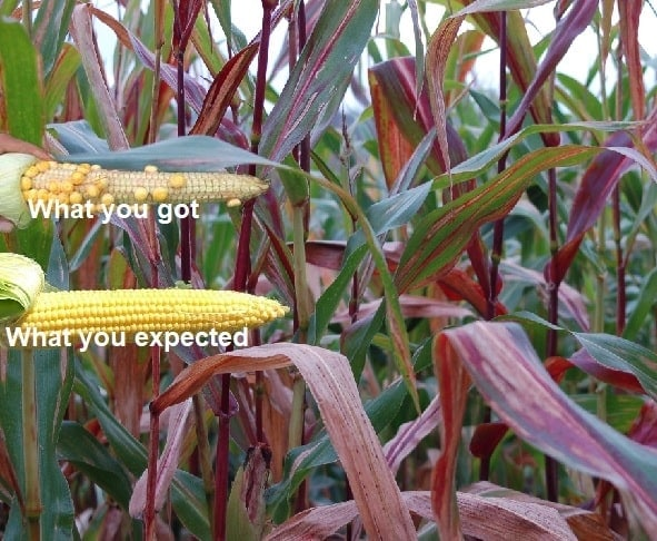 Why Corn Stalks And Leaves Turn Red And How To Prevent It Luv2garden Com Последние твиты от corn stalk (@corn_stalk). why corn stalks and leaves turn red and