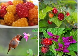 salmon berries and salmon berry plant