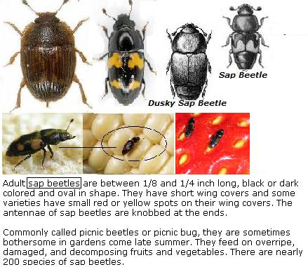 Pictures of various sap beetles