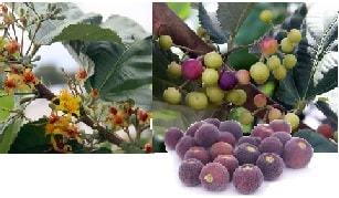 Ripe Sherbet Berries and Plant