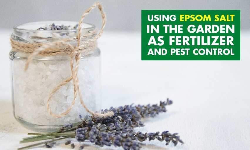 A picture of Epsom salt in a glass jar with some leafy garnish laying next to it. Text reads using epsom salt in the garden as fertilizer and pest control.