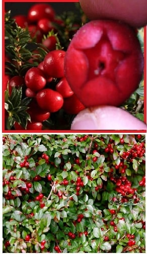 wintergreen berry and plant