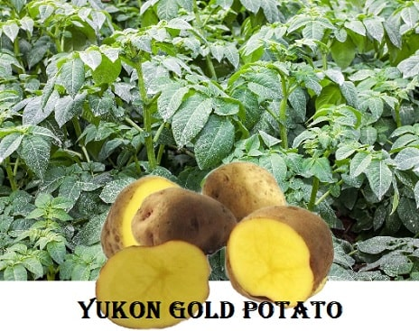A picture of yukon gold potatoes being grown as well as potatoes cut in half.
