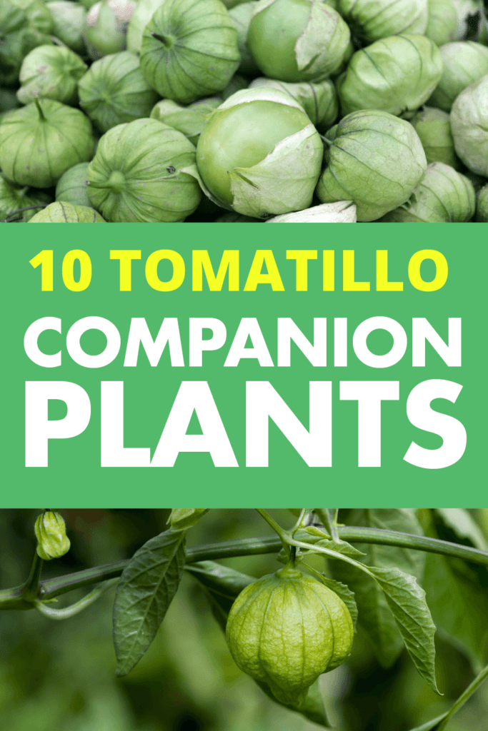Two different pictures of tomatillos, one is picked tomatillos piled together another is of tomatillos growing. Text reads 10 tomatillo companion plants.