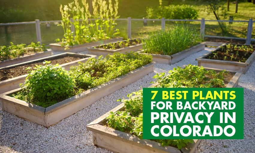 A picture of plants growing in raised flower beds. Text reads 7 best plants for backyard privacy in Colorado.