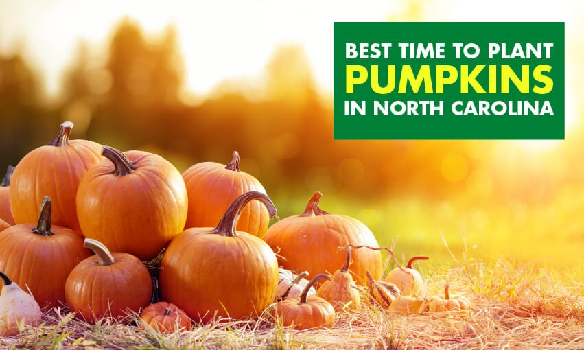 A picture of pumpkins piled on together with text that reads best time to plant pumpkins in north Carolina.