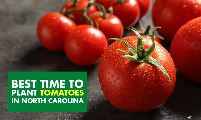 A picture of several tomatoes with text that reads best time to plant tomatoes in North Carolina.