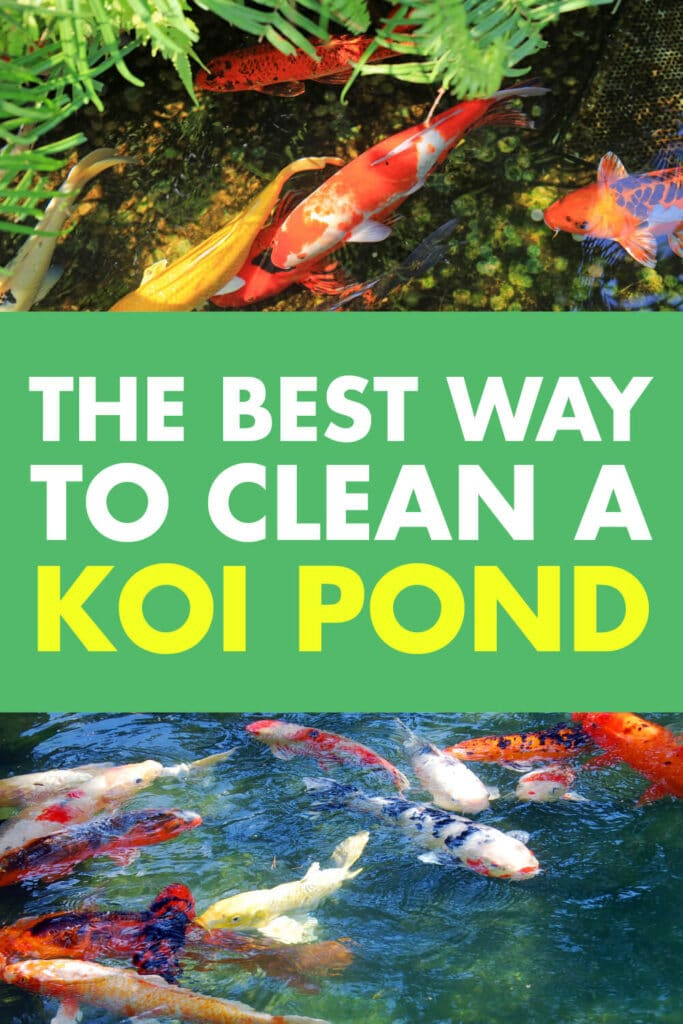 Two images of koi fish. Text reads the best way to clean a koi pond.