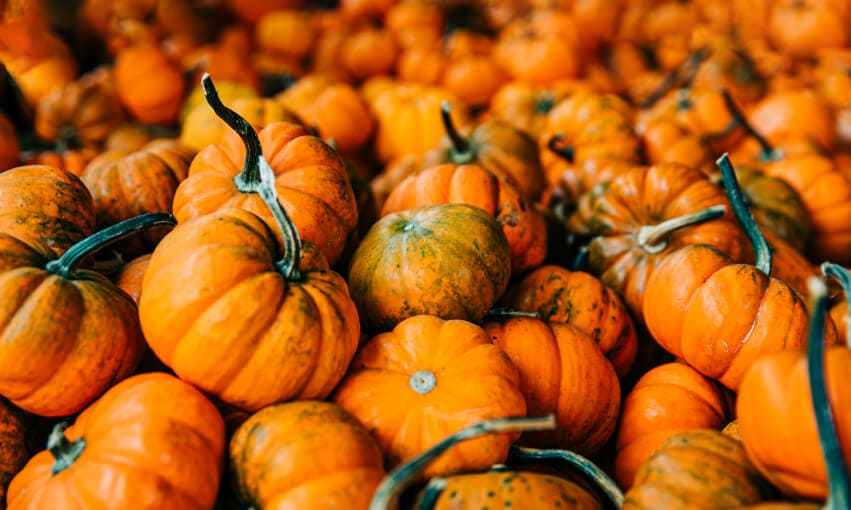A picture of several hundred small pumpkins together.