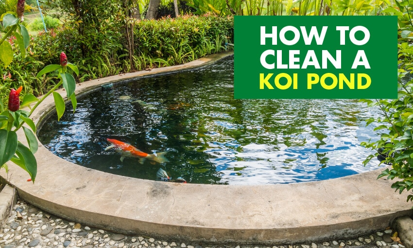 A picture of a koi pond with koi fish in it. Text reads how to clean a koi pond.