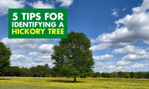 A picture of a hickory tree in an open field with text that says 5 tips for identifying a hickory tree.