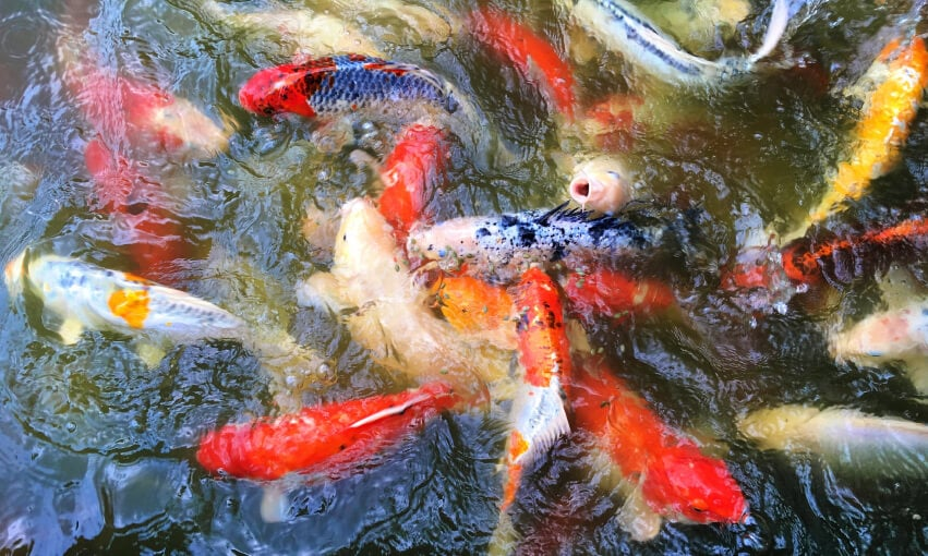 A picture of koi fish in a pond.