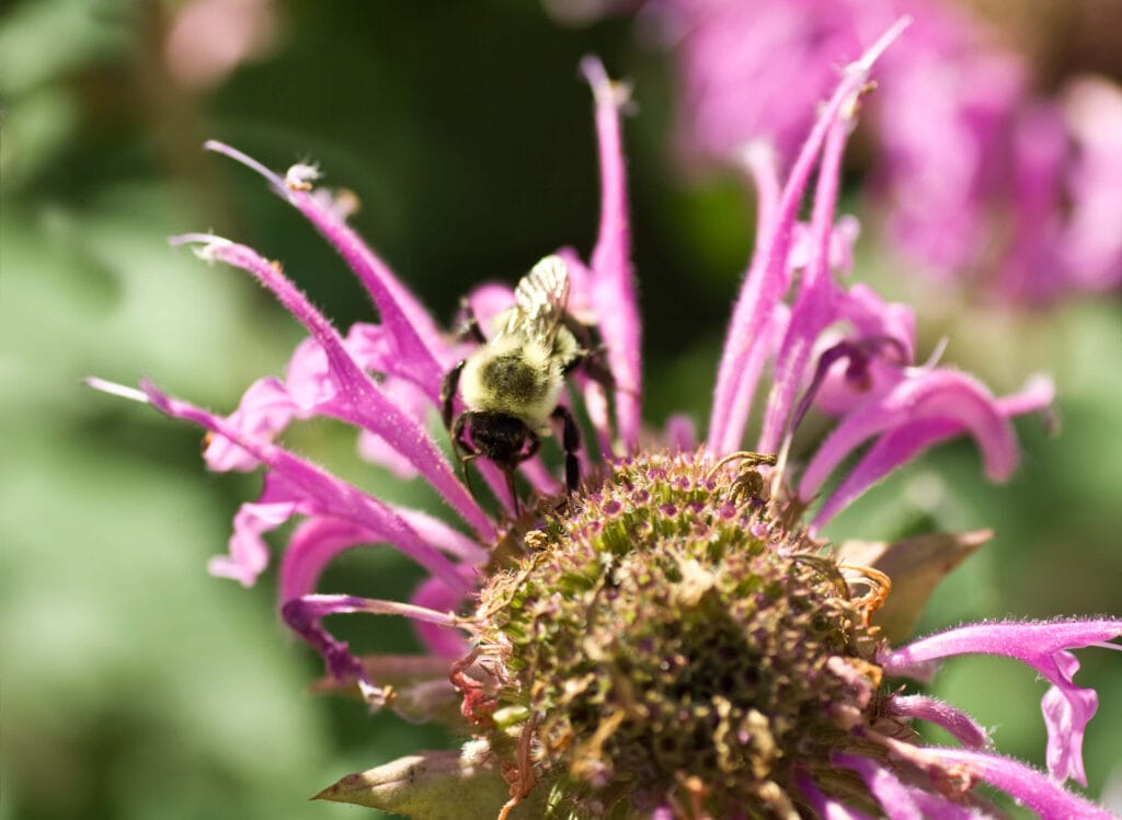 A picture of a bee on pink bee balm.
