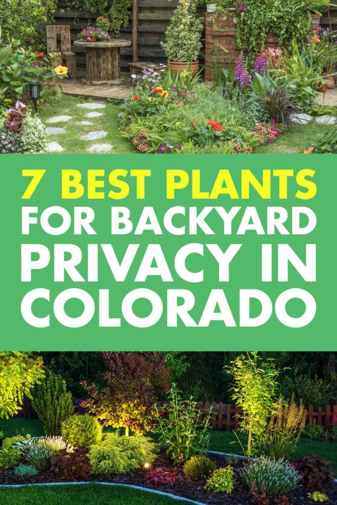 Two pictures of plants and shrubs growing. Text in-between the two texts that read 7 best plants for backyard privacy in Colorado.