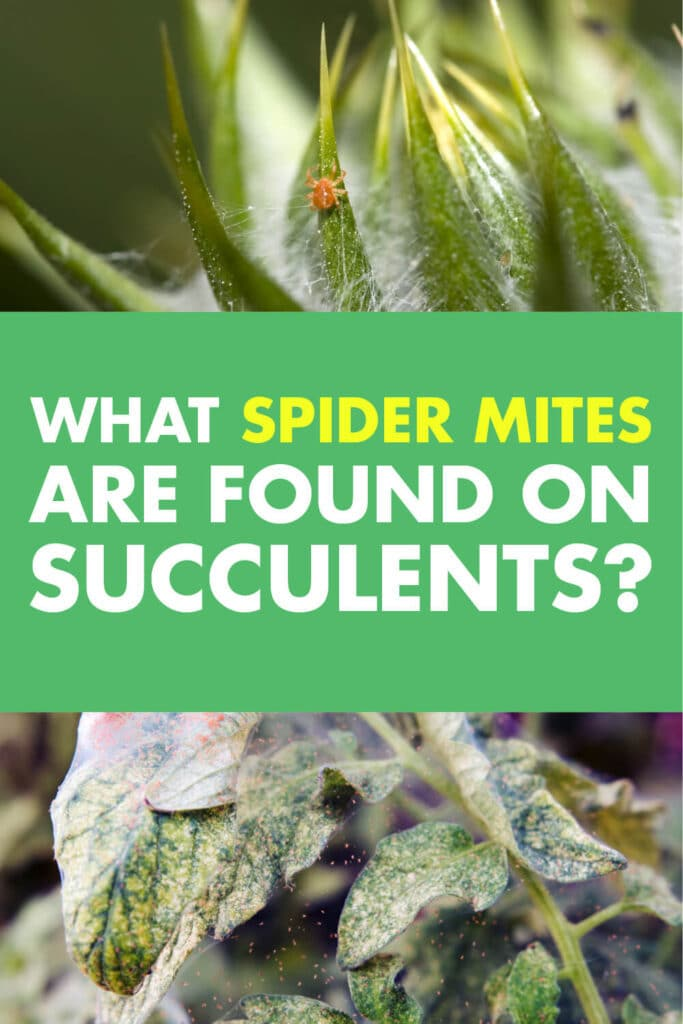 Two pictures of plants being infected by spider mites. One has a picture of a spider. Text reads what spider mites are found on succulents?