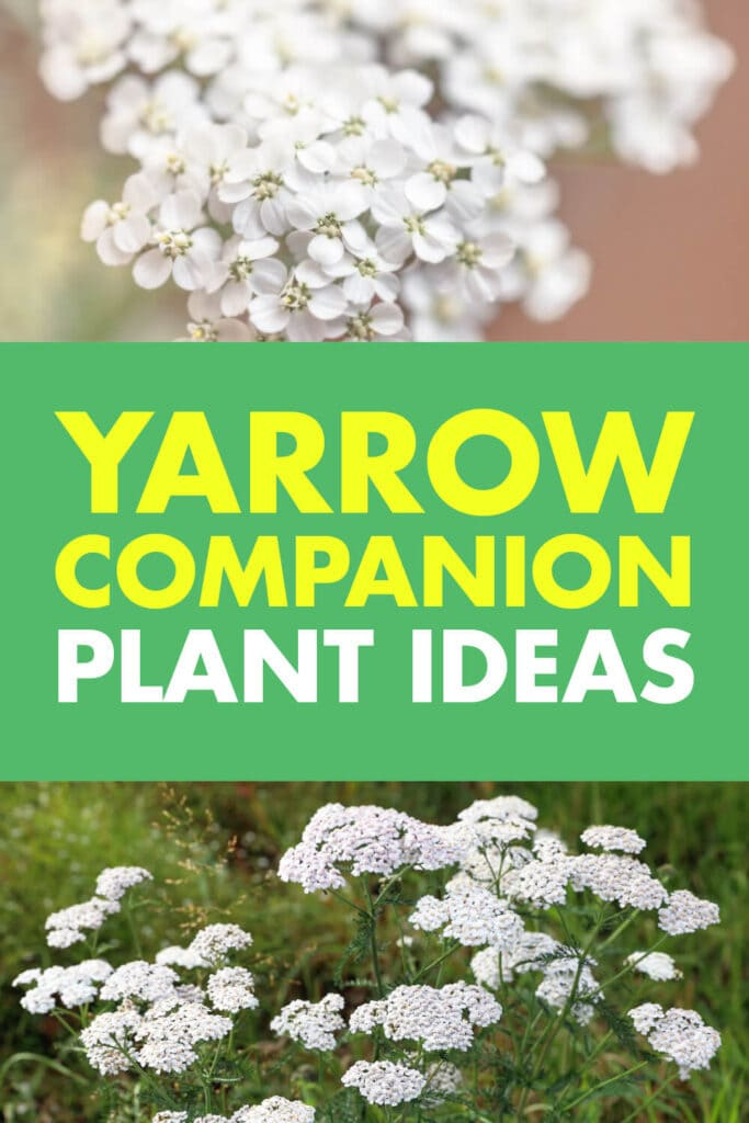 An image with two pictures of yarrow growing. Text reads Yarrow companion plant ideas.
