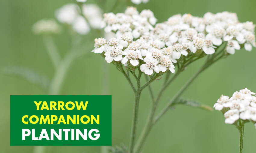 A picture of yarrow and text that reads yarrow companion planting.