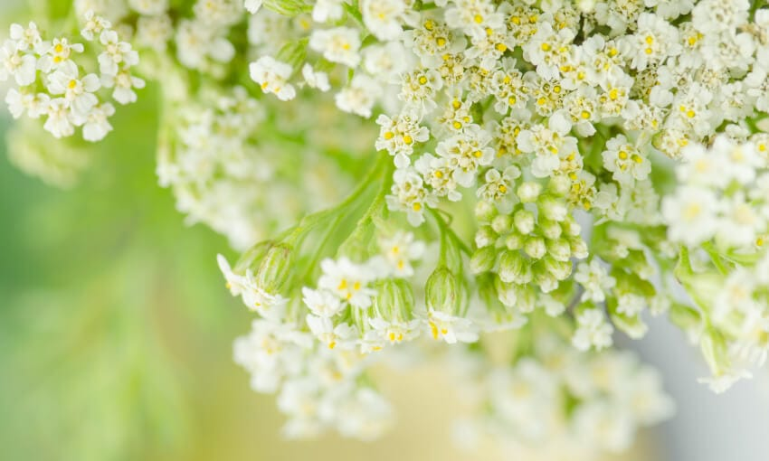 A picture of yarrow growing.