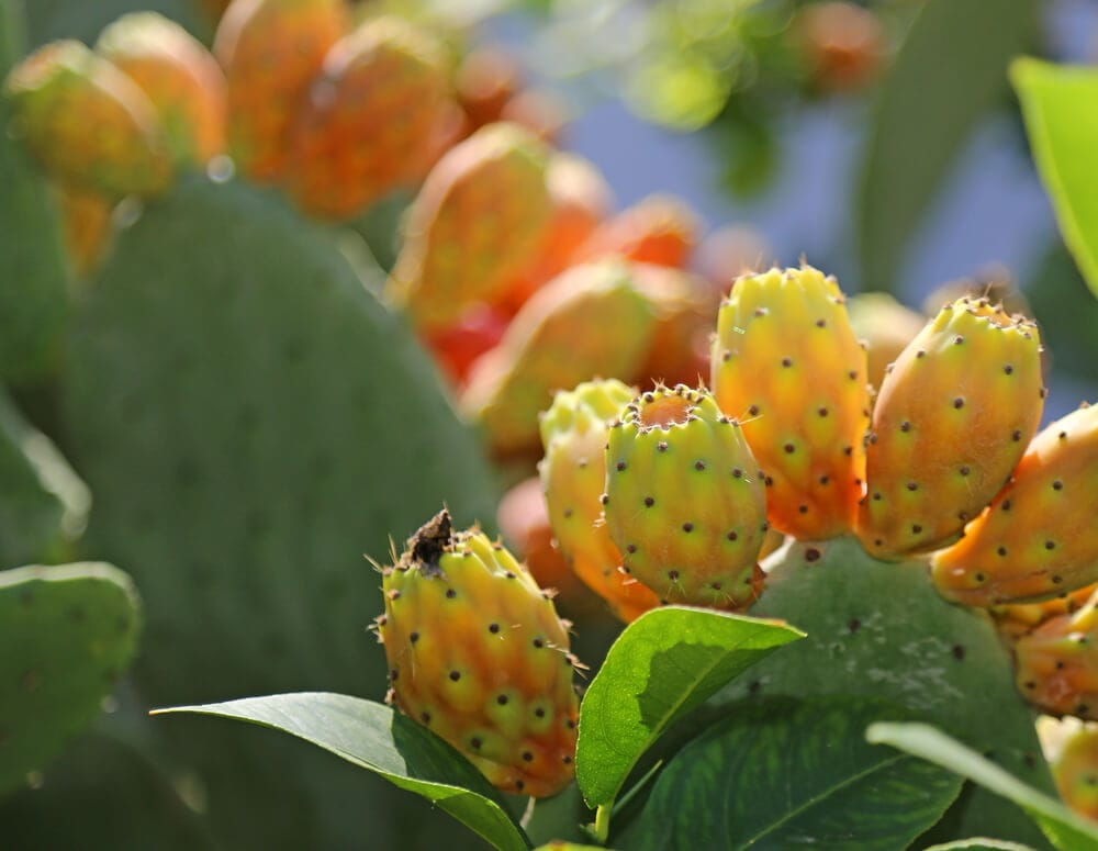 A picture of an Indian fig prickly pear.