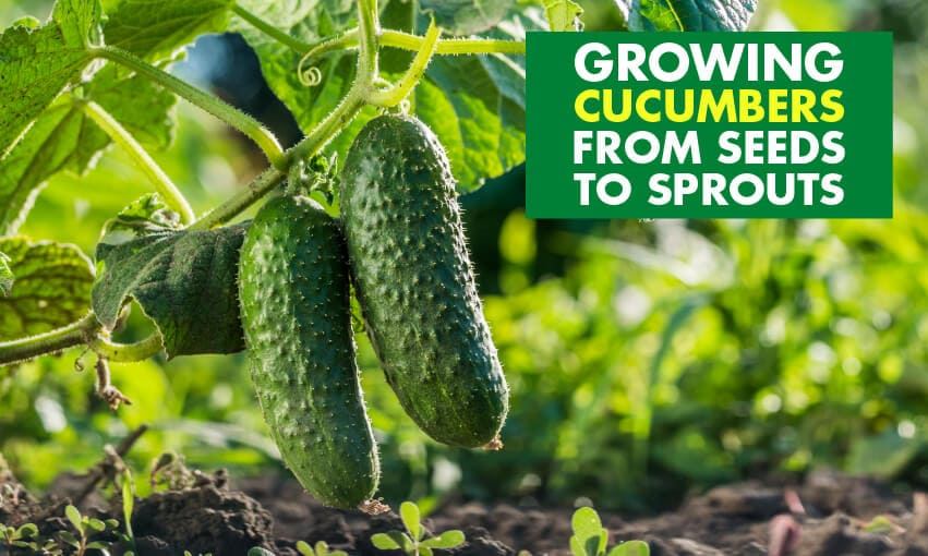 A picture of cucumbers growing with text that reads growing cucumbers from seeds to sprouts.