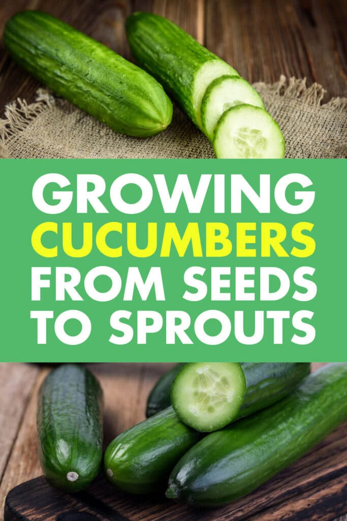 Two pictures of cucumbers, the one on top has slices of cucumbers. Text in-between the images says growing cucumbers from seeds to sprouts.
